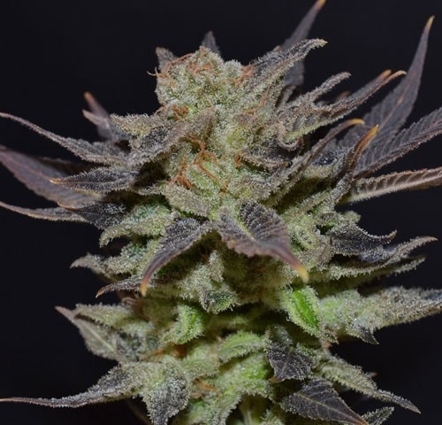 Auto Lavender  CBD Seeds