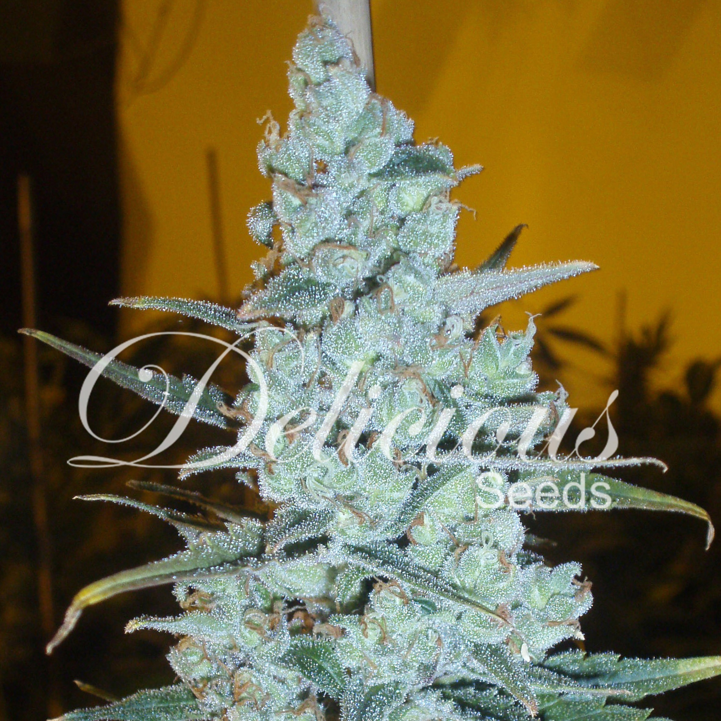 Critical Jack Herer – Delicious Seeds