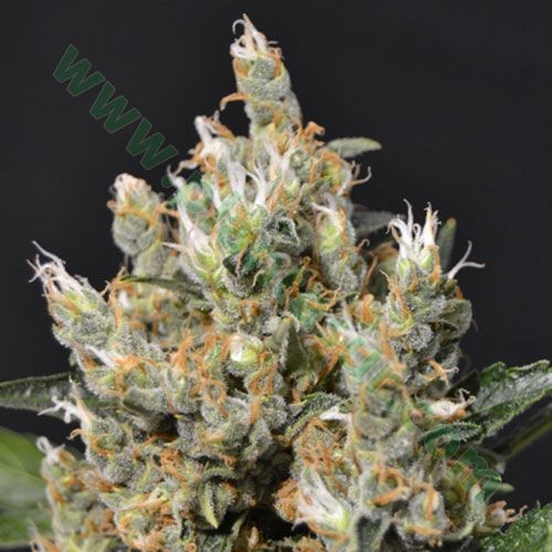 Kali – CBD Seeds