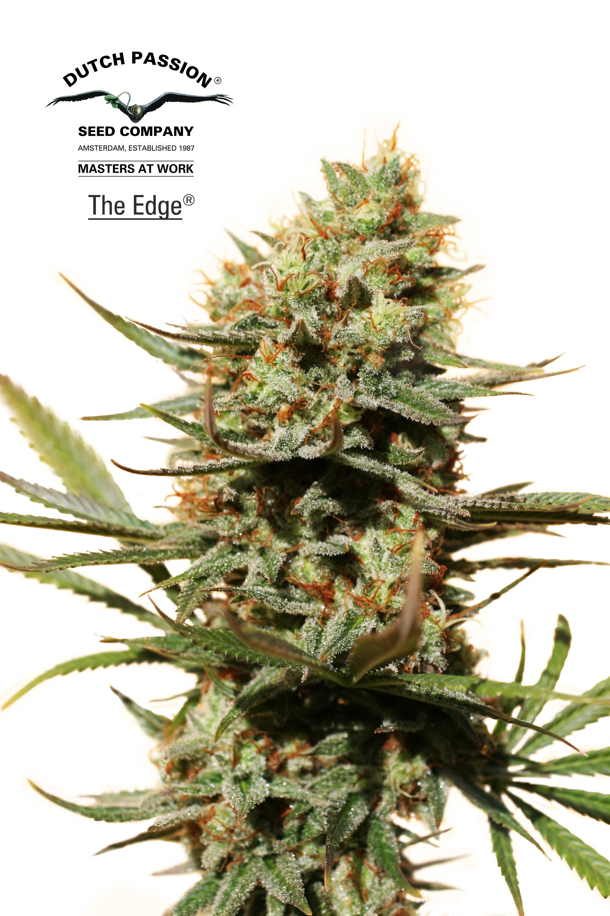 The Edge - Dutch Passion (Semillas)
