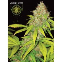 AK49 Auto – Vision Seeds