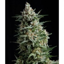 Anesthesia – Pyramid Seeds