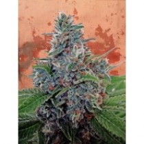 Auto Blue Amnesia – Ministry Seeds