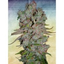 Auto Blueberry Domina – Ministry Seeds