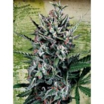 Auto Silver Bullet – Ministry Seeds