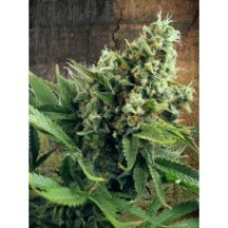Auto White Widow – Ministry Seeds