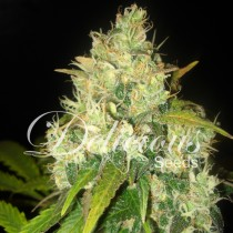 Black Russian – Delicious Seeds
