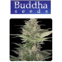 Red Dwarf - Buddha Seeds