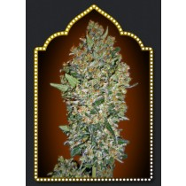 Cheese Berry – 00 Seed