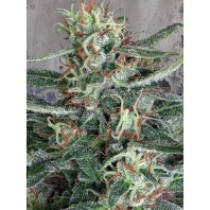 Cristal Cloud – Ministry Seeds