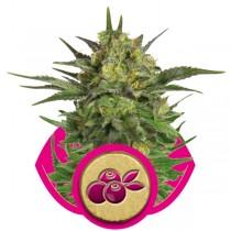 Haze Berry – Royal Queen