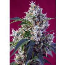 Indigo Berry Kush Sweet Seeds