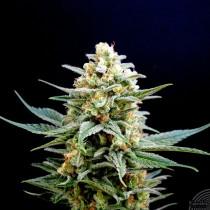 precio semillas marihuana