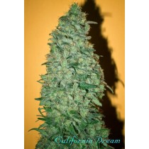 California Dream – Mandala Seeds
