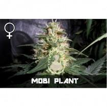 compar semillas feminizads moby plant de veneno seeds