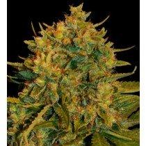 Northern Light X Big Bud Auto - World Of Seeds