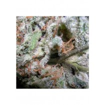 Indica Pack - Paradise Seeds