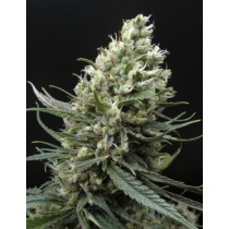 Ripper Haze – Ripper Seeds