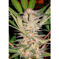 S.A.D. Sweet Afgani Delicious Sweet Seeds