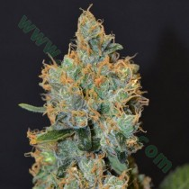 Lavender – CBD Seeds