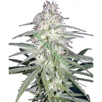 Destroyer Femenina – Cannabiogen
