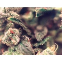 X-Line Sweet Soul – Female Seeds