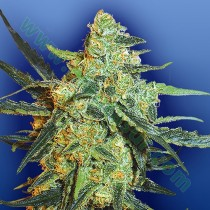 Blueberry Skunk – The Flying Dutchmen