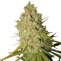 Special Kush #1 – Royal Queen