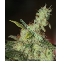 White Diesel – Vulkania Seeds