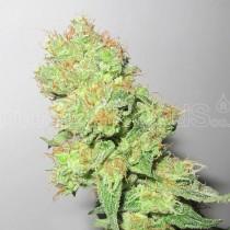 y-griega-cbd-medical-seeds