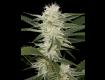 Dinafem-seeds