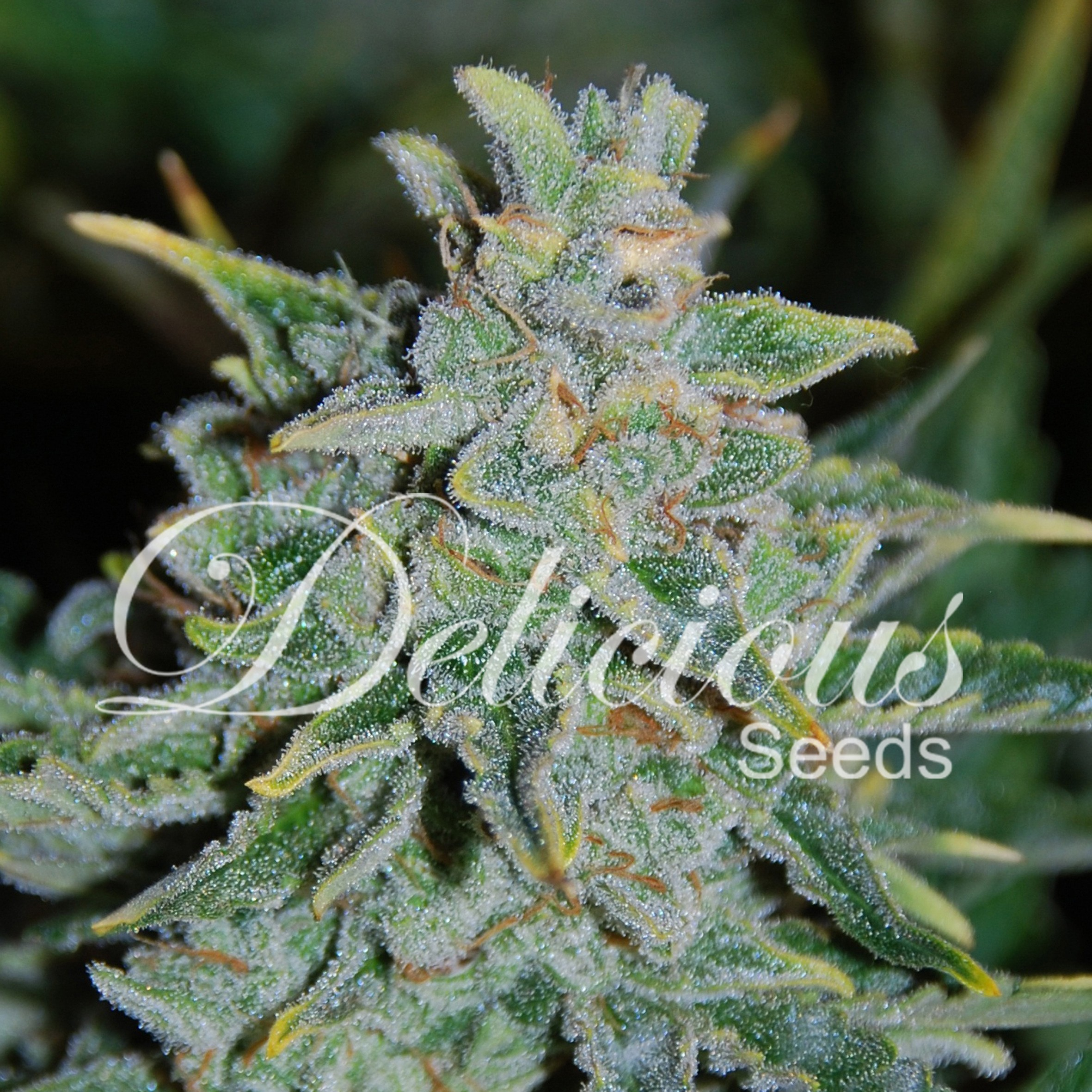 semillas northern light blue auto de delicious seeds