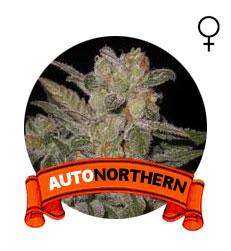 comprar-semillas-auto-northern