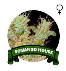 comprar-semillas-somango