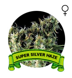 comprar-super-silver-haze