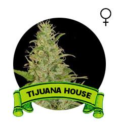 comprar-semillas-marijuana-tijuana