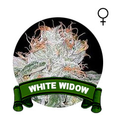 comprar-semillas-white-widow