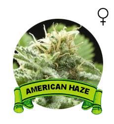 comprar-semillas-american-haze