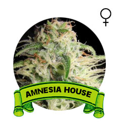 semillas-marihuana-amnesia