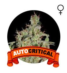comprar-semillas-critical-auto