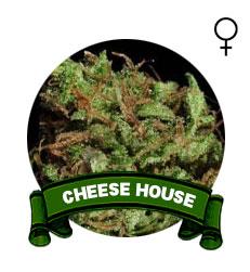 comprar-semillas-marihuana-cheese