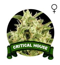 semillas-marihuana-critical
