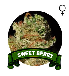 comprar-sweet-seeds
