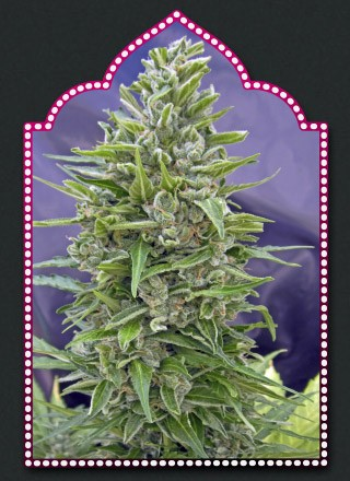 Mix Autofloración – 00 Seeds