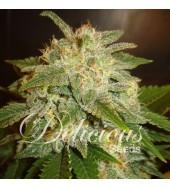 semillas-marihuana-la-bella-afrodita-auto