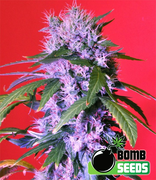 Berry Bomb Auto - Bomb Seeds