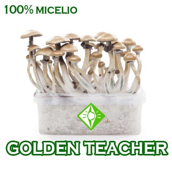 venta online pan setas golden teacher