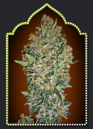 Feminized Collecntion 1 – 00 Seeds