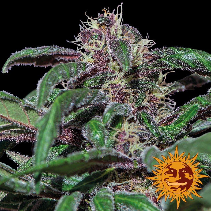 Ayahuasca Purple - Barney´s Farm
