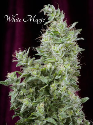 White Magic – Mandala Seeds